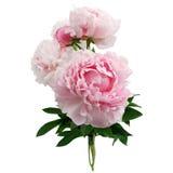 Flor cor-de-rosa da peônia isolada no fundo branco Imagens de Stock
