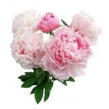 Flor cor-de-rosa da peônia isolada no fundo branco Imagem de Stock Royalty Free