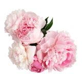 Flor cor-de-rosa da peônia isolada no fundo branco Fotos de Stock