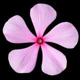 Flor cor-de-rosa da pervinca com o centro vermelho isolado Fotos de Stock Royalty Free