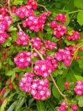 Flor cor-de-rosa das flores Imagem de Stock