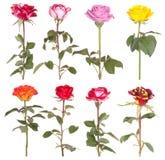Flor cor-de-rosa das flores das rosas Imagens de Stock Royalty Free