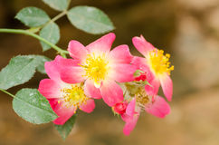 Flor cor-de-rosa das rosas Foto de Stock