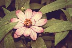 Flor cor-de-rosa de Cosmea Imagem de Stock Royalty Free