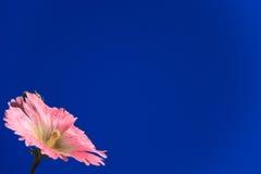 Flor cor-de-rosa de encontro ao céu imagem de stock royalty free