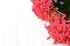 Flor cor-de-rosa de Ixora isolada no branco Imagem de Stock Royalty Free