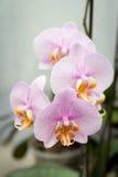 A flor cor-de-rosa de quatro orquídeas Imagens de Stock Royalty Free