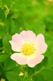 Flor cor-de-rosa de Rosa Imagem de Stock Royalty Free