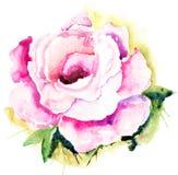 Flor cor-de-rosa de Rosa Fotografia de Stock
