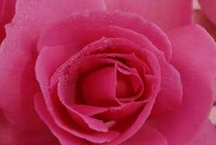 Flor cor-de-rosa de Rosa Fotografia de Stock Royalty Free