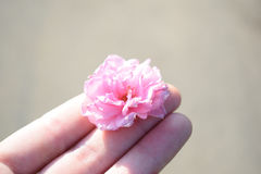 Flor cor-de-rosa de sakura à disposição imagens de stock royalty free
