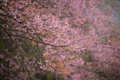Flor cor-de-rosa de sakura imagem de stock