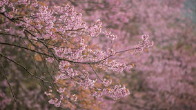 Flor cor-de-rosa de sakura fotos de stock royalty free