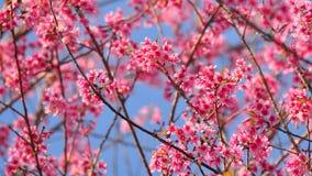 Flor cor-de-rosa de sakura Foto de Stock