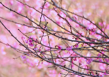 Flor cor-de-rosa de sakura imagens de stock royalty free