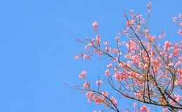 Flor cor-de-rosa de sakura Fotografia de Stock Royalty Free