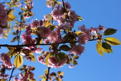 Flor cor-de-rosa de sakura (cereja) contra o céu azul Fotos de Stock Royalty Free