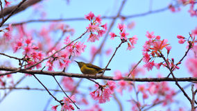 Flor cor-de-rosa de sakura com pássaro Foto de Stock Royalty Free