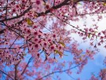 Flor cor-de-rosa de Sakura e céu azul, cereja Himalaia selvagem Fotografia de Stock