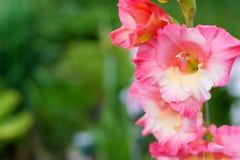 Flor cor-de-rosa de um tipo de flor e de um besouro pequeno para dentro Imagem de Stock