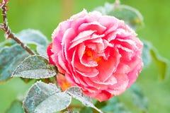 Flor cor-de-rosa de uma geada da rosa foto de stock