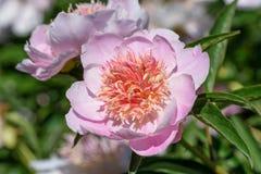 Flor cor-de-rosa de uma peônia do jardim Fotografia de Stock