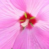 Flor cor-de-rosa delicada bonita do hibiscus Fotos de Stock Royalty Free