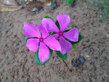 flor cor-de-rosa delicada do campo Fotografia de Stock Royalty Free