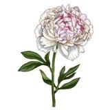 Flor cor-de-rosa delicadamente tirada mão da peônia ilustração royalty free
