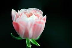Flor cor-de-rosa desenvolvida delicada Foto de Stock