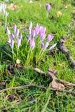Flor cor-de-rosa do açafrão no verde Foto de Stock