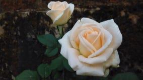 Flor cor-de-rosa do amarelo Imagens de Stock Royalty Free