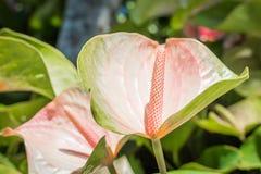 Flor cor-de-rosa do antúrio Imagens de Stock Royalty Free