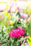 Flor cor-de-rosa do botão de ouro do ranúnculo no jardim, cercado pelo YE Imagens de Stock Royalty Free