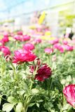 Flor cor-de-rosa do botão de ouro do ranúnculo no jardim, cercado pelo YE Foto de Stock Royalty Free