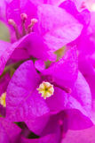 Flor cor-de-rosa do bougainvillea Foto de Stock Royalty Free