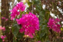 Flor cor-de-rosa do bougainvillea Foto de Stock Royalty Free