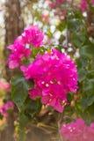 Flor cor-de-rosa do bougainvillea Imagem de Stock