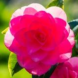 Flor cor-de-rosa do camelia com folhas verdes fotos de stock