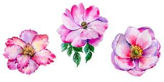 Flor cor-de-rosa do chá do Wildflower em um estilo da aquarela isolada Imagens de Stock Royalty Free