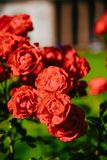 Flor cor-de-rosa do chá vermelho foto de stock