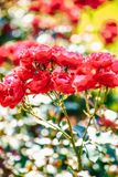 Flor cor-de-rosa do chá vermelho Imagem de Stock Royalty Free