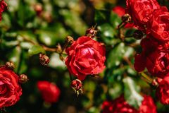 Flor cor-de-rosa do chá vermelho Fotos de Stock Royalty Free