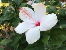Flor cor-de-rosa do chinês Imagem de Stock