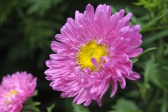 Flor cor-de-rosa do close up Fotos de Stock Royalty Free