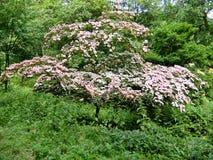 Flor cor-de-rosa do corniso Imagens de Stock Royalty Free