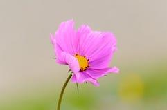 Flor cor-de-rosa do cosmos Imagens de Stock
