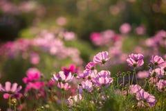 Flor cor-de-rosa do cosmos Fotografia de Stock Royalty Free