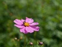 Flor cor-de-rosa do cosmos Foto de Stock Royalty Free