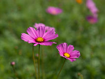 Flor cor-de-rosa do cosmos Imagens de Stock Royalty Free